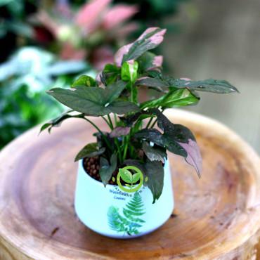 Cây Trầu Bà hồng var | Syngonium Podophyllum Pink variegata