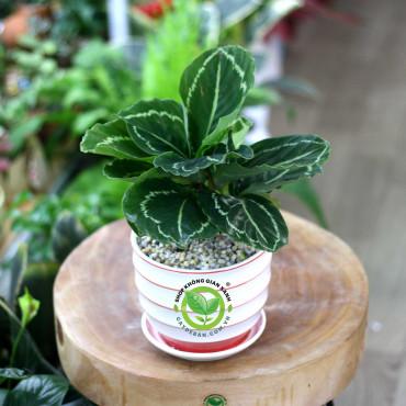 Cây Đuôi Công Xanh (Calathea roseopicta Medallion)