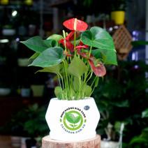 Cây Hồng Môn đỏ