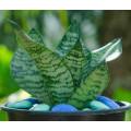 Cây Lưỡi Hổ Xanh Sansevieria Hahnii Green