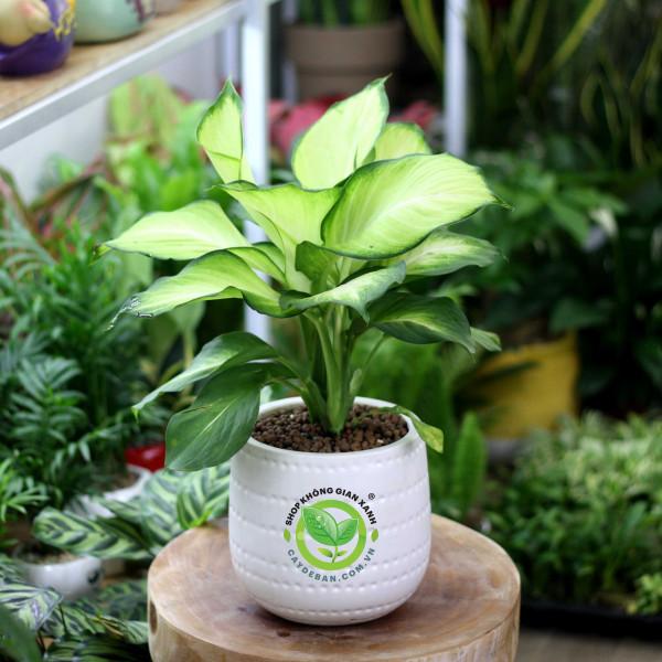 Cây Thiên Hoàng [Dieffenbachia Hybrida Tropic Marianne]