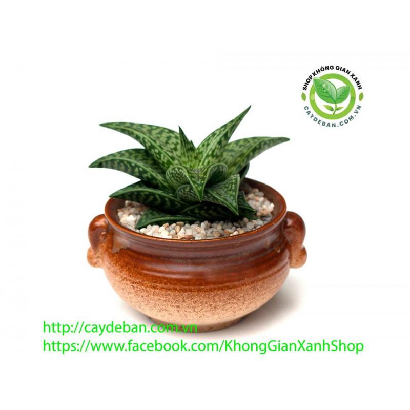 Móng rồng Aloe Vera