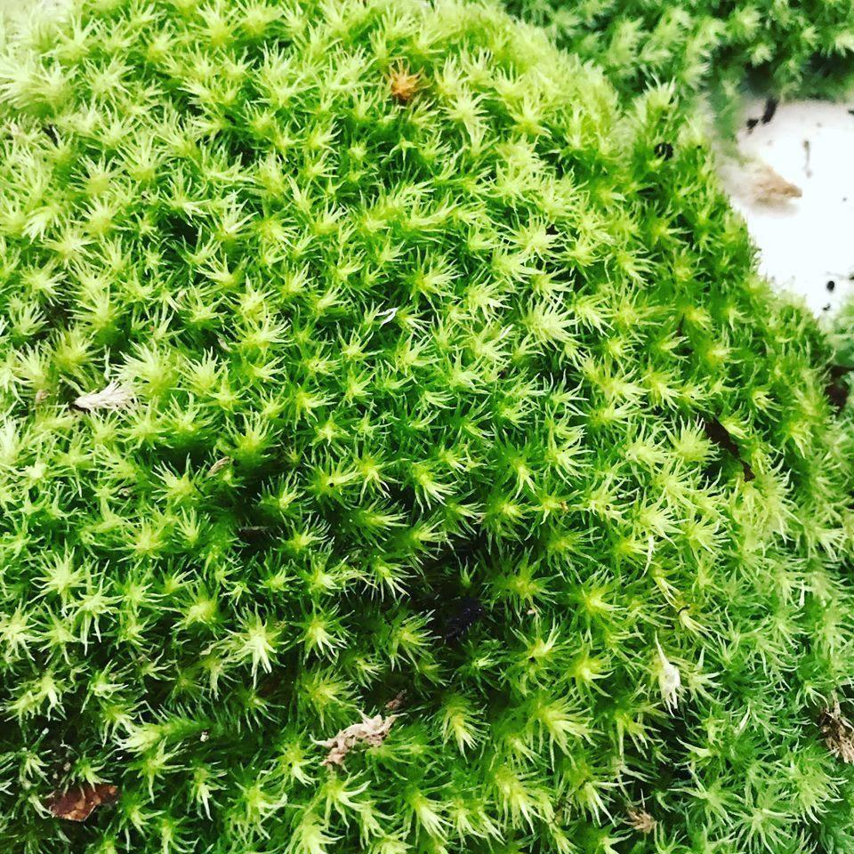 Rêu ngọn trắng-Leucobryum moss