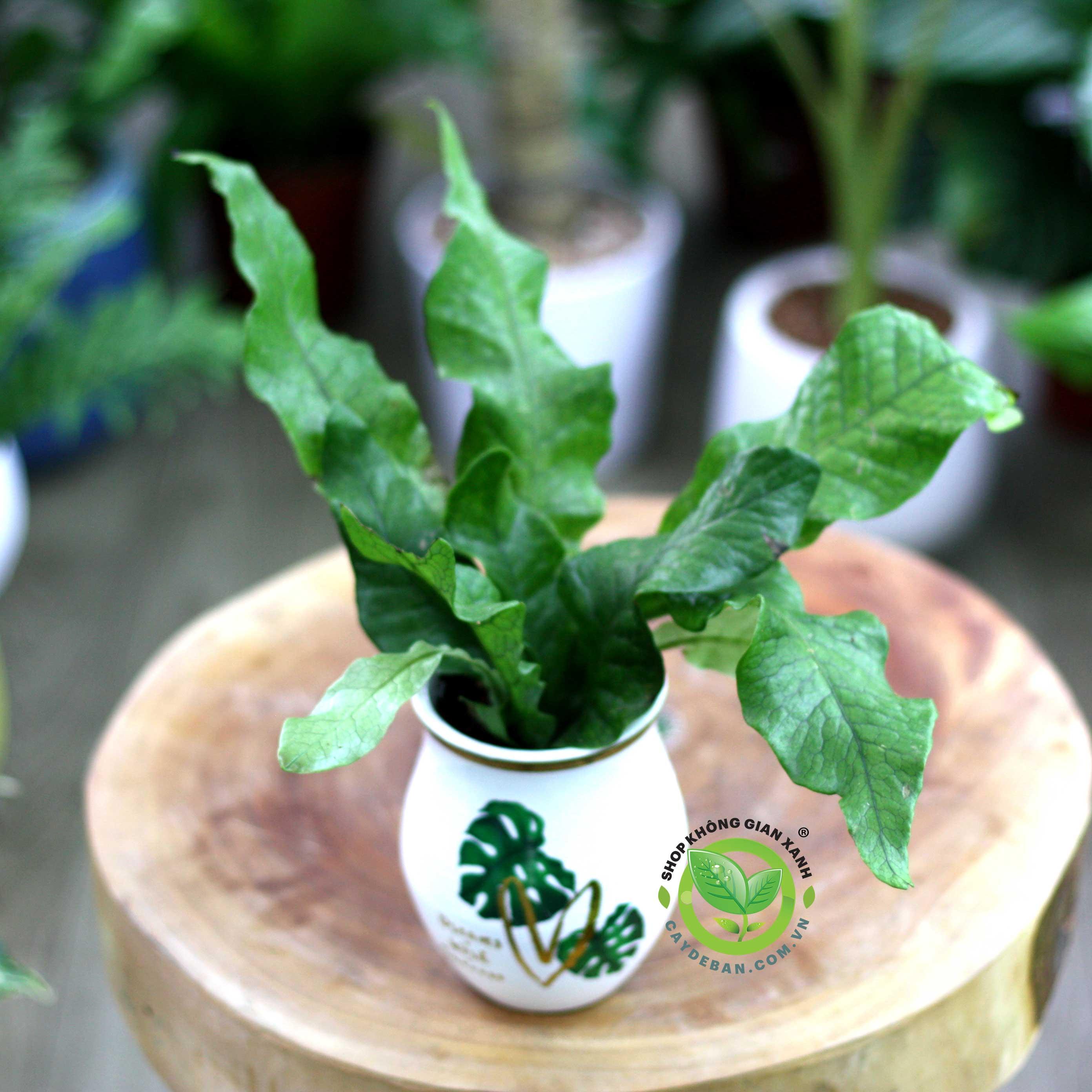 Microsorum-musifolium
