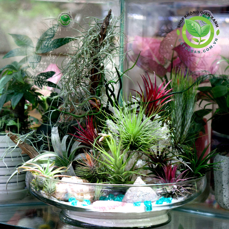 Cây không khí, Tillandsia, air plants, terrarium air plants